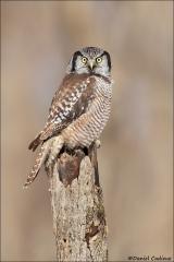 Northern Hawk Owl_0159-18