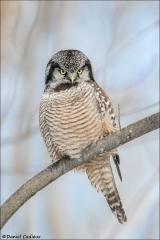Northern Hawk Owl_9944-18