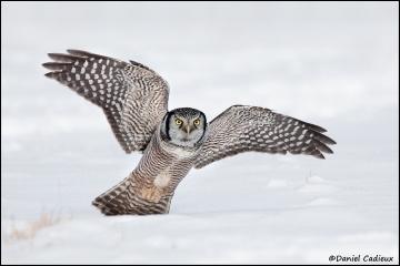 Northern_Hawk-Owl_3580-11