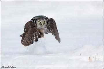 Northern_Hawk-Owl_3583-11