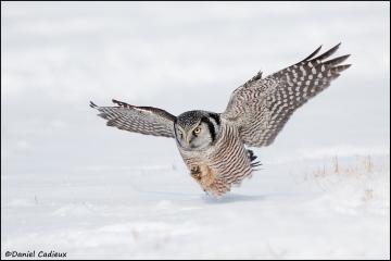 Northern_Hawk-Owl_3585-11