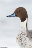 Northern Pintail_6310-18