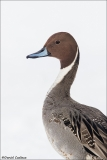 Northern Pintail_6348-18
