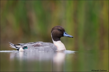 Northern_Pintail_1530-16