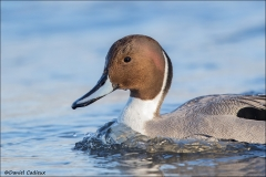 Northern_Pintail_4478-16