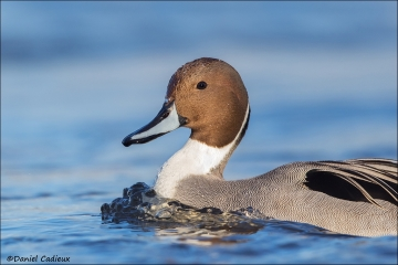 Northern_Pintail_4572-16