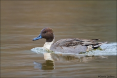 Northern_Pintail_9654-14