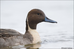 Northern_Pintail_9710-14