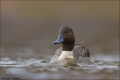 Northern_Pintail_9850-14