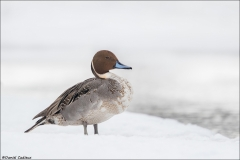 Northern Pintail_6225-18