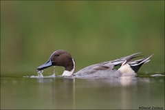 Northern_Pintail_1494-16