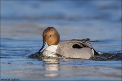 Northern_Pintail_4841-16