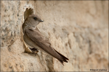 Northern_Rough-winged_Swallow_7933-11