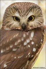 Northern_Saw-whet_Owl_0738-11