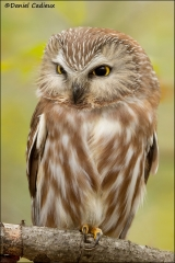 Northern_Saw-whet_Owl_0847-11