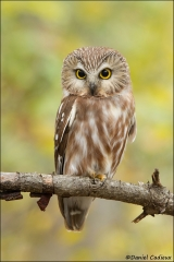 Northern_Saw-whet_Owl_0891-11