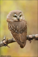 Northern_Saw-whet_Owl_0957-11