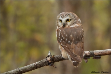 Northern_Saw-whet_Owl_0959-12