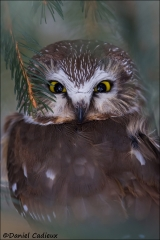 Northern_Saw-whet_Owl_6098-15
