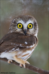 Northern_Saw-whet_Owl_6126-15
