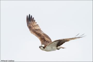 Osprey_1132-14