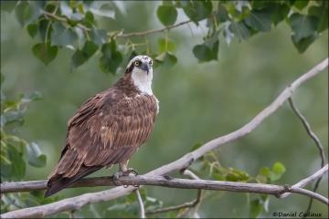 Osprey_1464-14