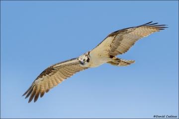 Osprey_4906-12