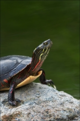 Painted_Turtle_4351-17