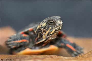 Painted_Turtle_5171-17