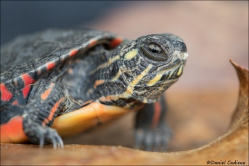Painted_Turtle_5179-17
