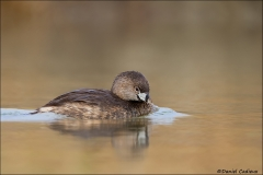 Pied-billed_Grebe_4718-13