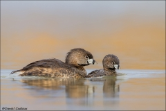 Pied-billed_Grebe_4720-13