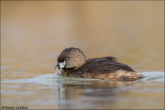 Pied-billed_Grebe_4751-13