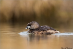 Pied-billed_Grebe_4797-13