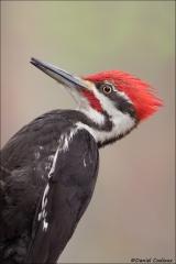 Pileated Woodpecker_5447-18