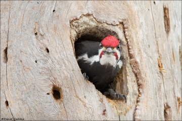 Pileated Woodpecker_9126-18