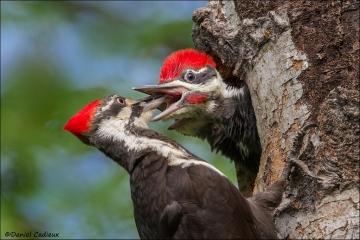 Pileated_Woodpecker_9521-15