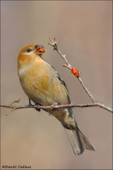 Pine_Grosbeak_0002-12