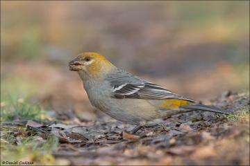 Pine_Grosbeak_0102-12