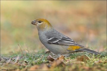 Pine_Grosbeak_0106-12
