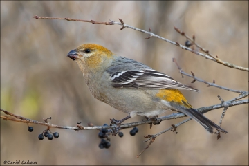 Pine_Grosbeak_0119-12