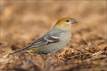 Pine_Grosbeak_0134-12