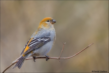 Pine_Grosbeak_0206-12