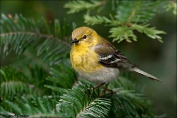 Pine_Warbler_3628-09