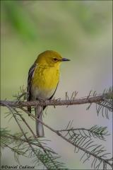 Pine_Warbler_4035-14