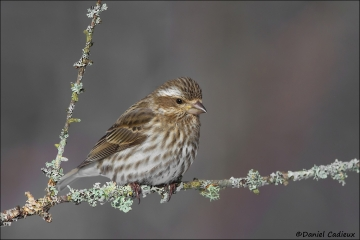 Purple_Finch_0679-14