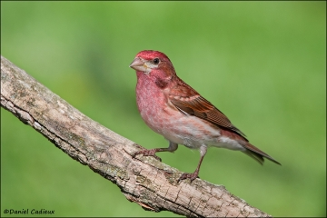 Purple_Finch_7020-11