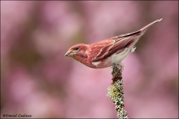 Purple_Finch_7815-11