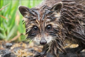 Raccoon_5607-18