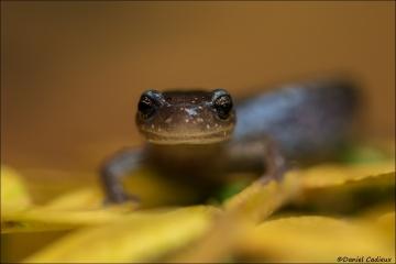 Red-backed_Salamander_0302-16